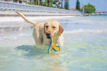 Золотая собака-ретривер, стоящая в океане с игрушкой — стоковое фото