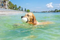 Golden retriever dog swimming with a ball in its mouth — Stock Photo