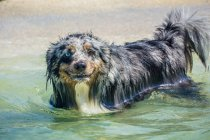 Australian Shepherd Hund steht im Ozean — Stockfoto