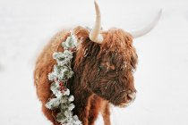 Portrait of a highland cow in the snow wearing a Christmas wreath, British Columbia, Canada — Stock Photo