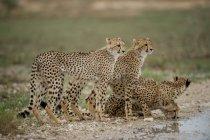 Мальовничий вид на чотири Гепард стояв біля води, Південно-Африканська Республіка — стокове фото