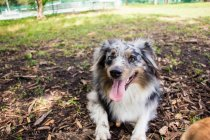 Australian Shepherd puppy lying on ground in a park — Stock Photo
