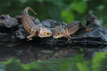 Two crocodile skink looking at each other, closeup view, selective focus — Stock Photo