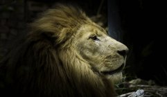Primo piano vista del muso leone carino — Foto stock