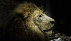 Closeup view of cute lion muzzle — Stock Photo