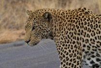 Портрет леопарда проти розмитого фону — стокове фото