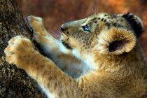 Lion cub climbing a tree at wild life — Stock Photo