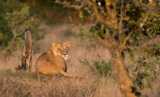 Leonessa sdraiata sotto un albero, Parco nazionale Kruger, Sudafrica — Foto stock