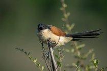 Nahaufnahme von Burchells coucal bird, vor verschwommenem Hintergrund — Stockfoto