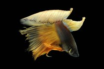 Close-up vista de majestoso peixe betta no fundo preto — Fotografia de Stock
