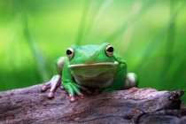 Portrait of a dumpy tree frog sitting on a tree, blurred background — Stock Photo