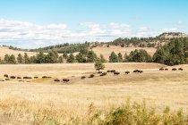 Vista panorámica de la manada de búfalos en la hierba, Dakota del Sur, América, EE.UU. - foto de stock