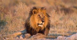 Verticale d'un lion se trouvant dans la nature sauvage, Botswana — Photo de stock