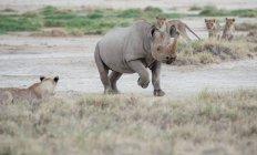 Rhinocéros noir passant devant une fierté de lions, Namibie — Photo de stock