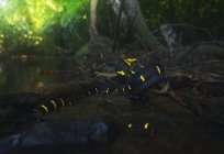 Mangrove cat snake by a river, selective focus — Stock Photo