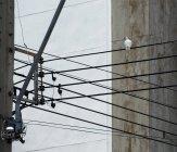 Голуб сидить на електричних кабелях. — стокове фото