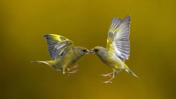 Two birds hovering mid air face to face, against blurred background — Stock Photo