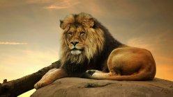 Verticale d'un lion majestueux se trouvant sur un rocher — Photo de stock