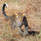 Живописный вид леопарда работает с тенью — стоковое фото