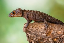 Portrait of a lizard on a branch, closeup view, selective focus — Stock Photo