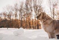 Golden retriever dog standing in the snow — Stock Photo