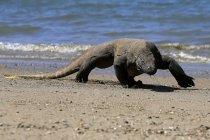 Дракон Комодо ходьба на пляж, крупним планом погляд, селективний фокус — стокове фото