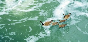 Ducks swimming in a lake, elevated view — Stock Photo