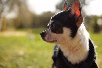 Портрет короткометражного пса Чихуахуа, размытый фон — стоковое фото