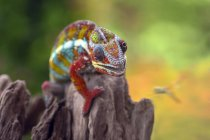 Chameleon trying to catch a dragonfly, selective focus — Stock Photo