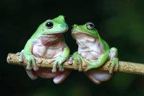 Dos ranas de árbol en una rama, fondo borroso - foto de stock