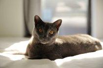 Chartreux-Katze liegt im Sonnenlicht auf dem Bett — Stockfoto