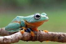Яванское дерево лягушки на ветке, размытый фон — стоковое фото