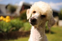 Portrait of a poodle dog in a garden, closeup view — Stock Photo