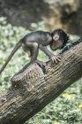 Малюкової мавпа повзати по дереву, Індонезія — стокове фото