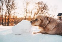 Golden retriever dog playing in the snow — Stock Photo