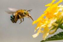 Biene bestäubt eine Blume, selektiver Fokus-Makroschuss — Stockfoto