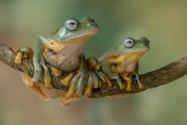 Two flying tree frogs on a branch, blurred background — Stock Photo