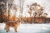 Golden Retriever dog standing in the snow — Stock Photo