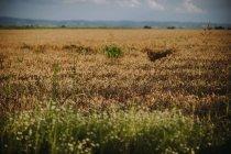 Vista panorámica del campo de trigo en verano, Serbia - foto de stock