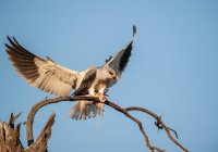 Хижі птахи посадка на філію зі своєю здобиччю — стокове фото