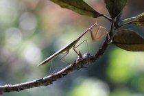 Mantis na filial, tiro seletivo do macro do foco — Fotografia de Stock