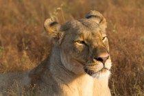 Portrait de lion belle détente à safari — Photo de stock