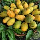 Basket of fresh mangoes, closeup view — Stock Photo