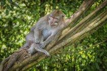 Балийская длиннохвостая обезьяна, сидящая на дереве в заповеднике Испуганный обезьяний лес, Убуд, Бали, Индонезия — стоковое фото