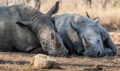 Birds sitting on Two rhinos lying in bush, South Africa — Stock Photo