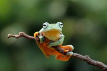 Javan tree frog on branch, blurred background — Stock Photo