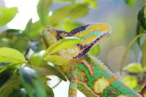 Retrato de un camaleón, Indonesia - foto de stock