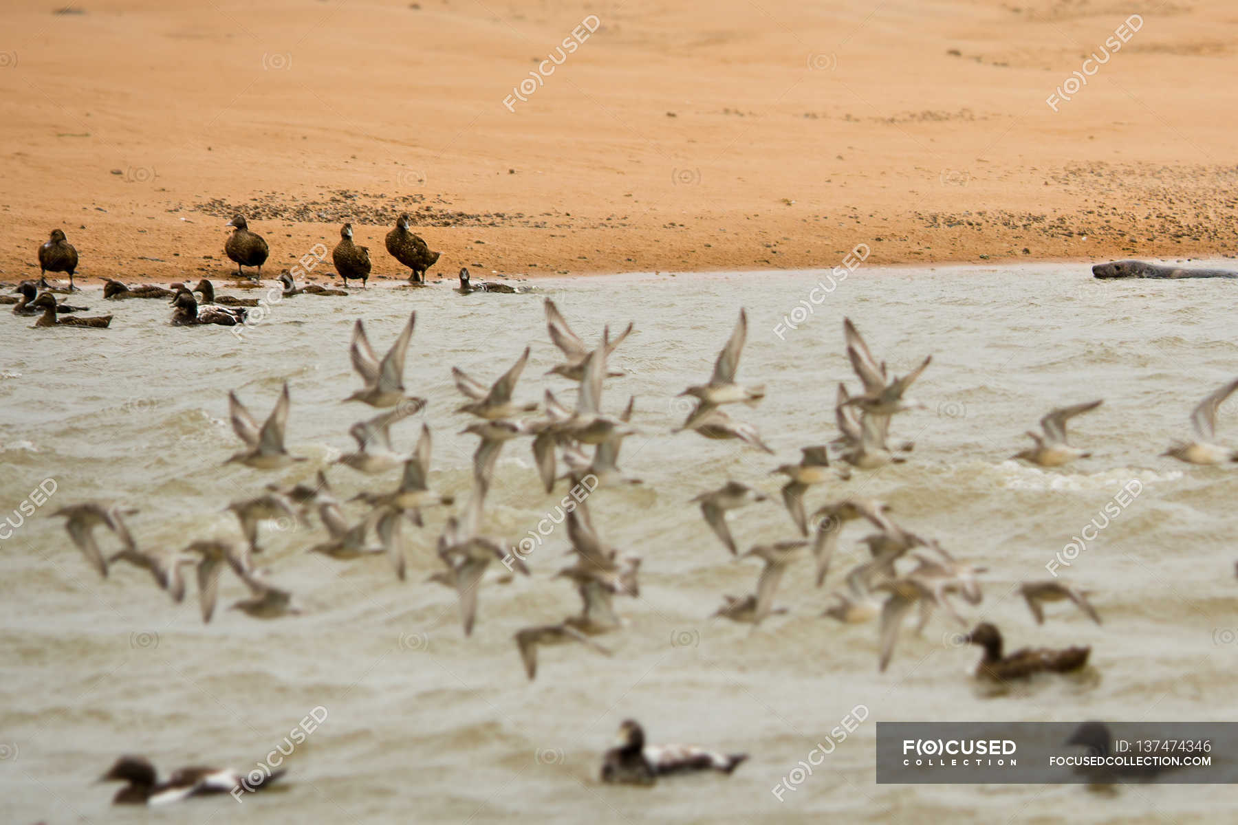 Flock Of Birds Stock Photos Royalty Free Images Focused