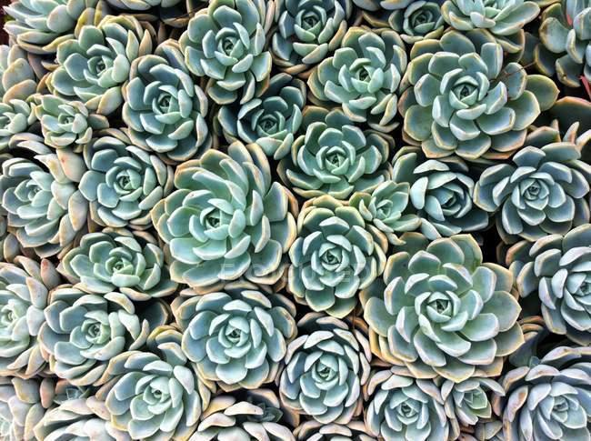 Hintergrund der grünen Sukkulenten — Stockfoto
