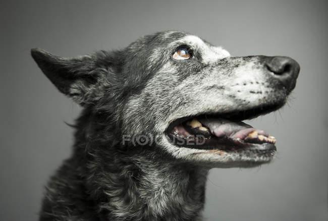 Hundemaul mit geöffnetem Maul — Stockfoto